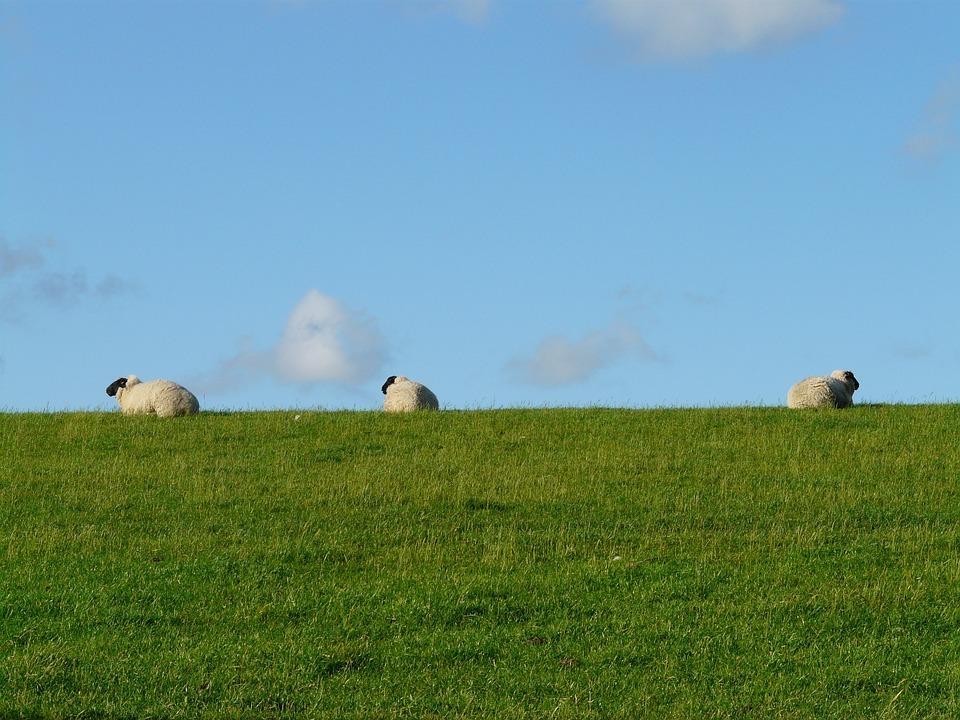 Sheep, Group, Rest, Concerns, Graze, Wool, Rhön Sheep