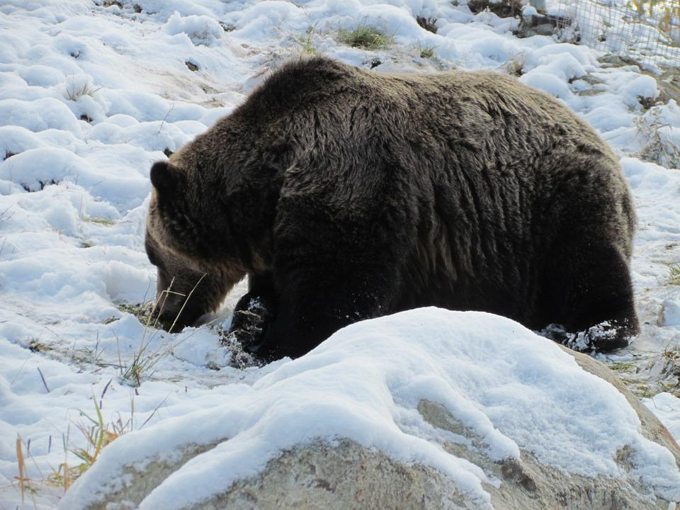 Grouse Mountain, Canada, Vancouver, Snow, Bear