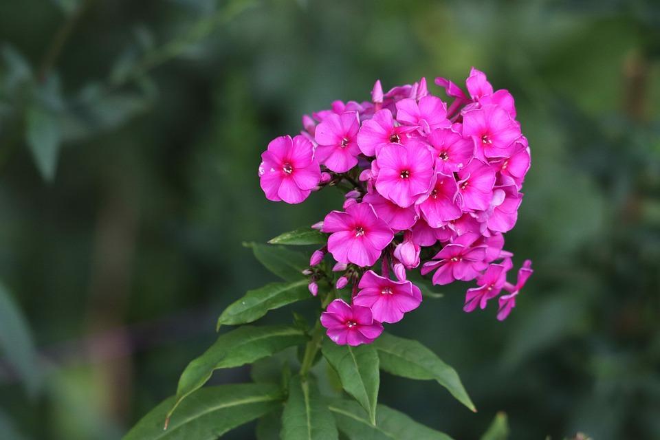 Garden Phlox, Growing Phlox, Phlox Paniculata, Flower