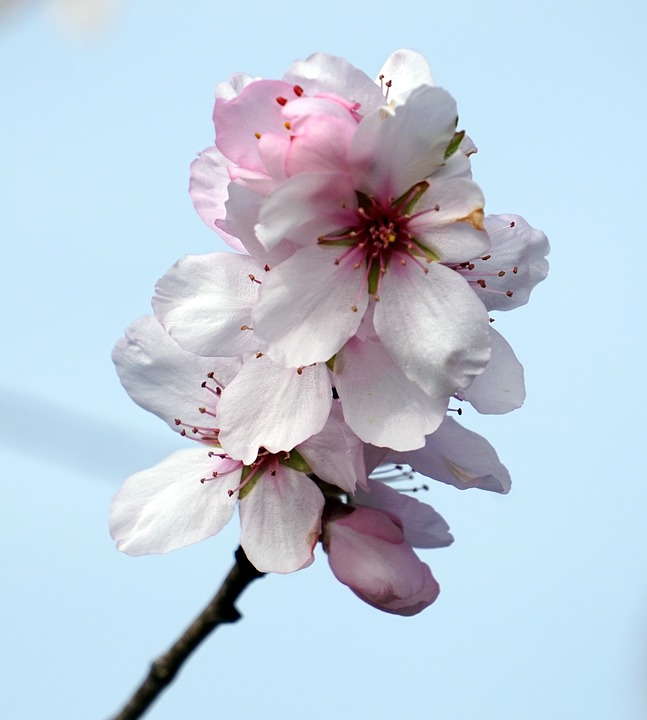 Almond Blossom, Flower, Cherry Wood, Growth, Nature