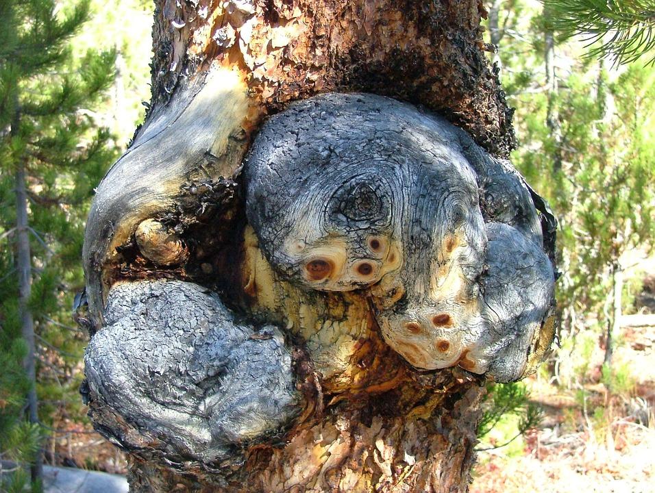 Tree, Growth, Burl, Bur, Burr, Deformity