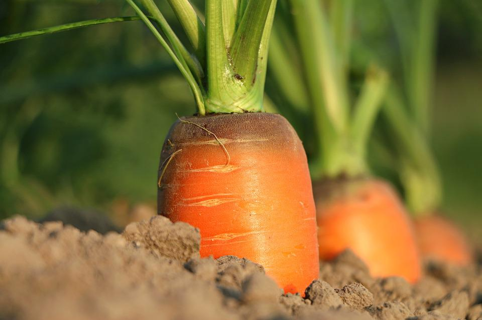 Carrot, Growth, Vegetables, Agriculture, Closeup