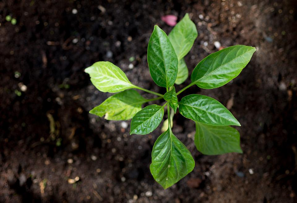 Young, Plant, Paprika, Growth, Green, Garden, Spring
