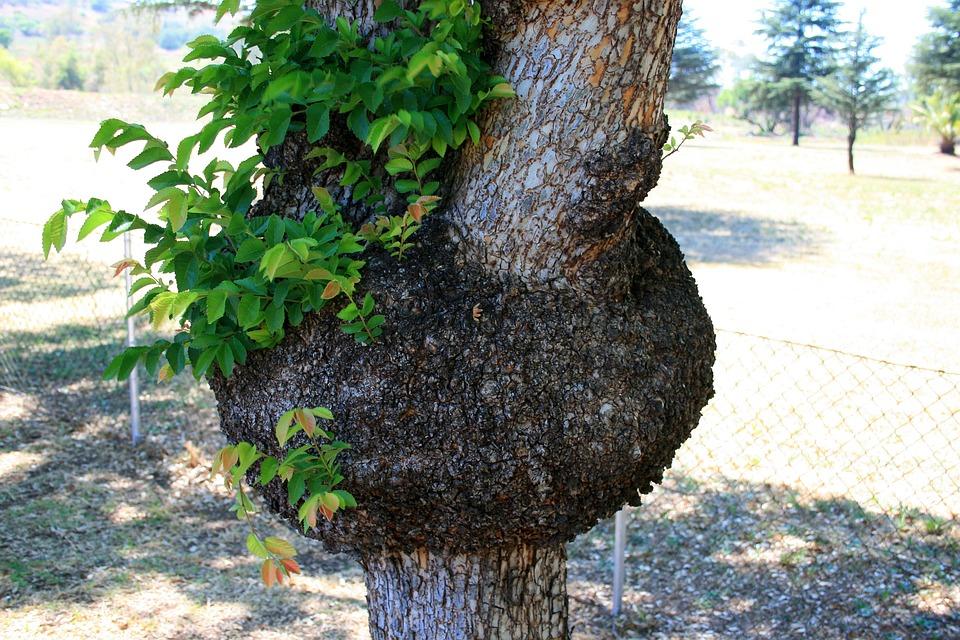 Tree, Lesion, Growth, Abnormal, Disfigured