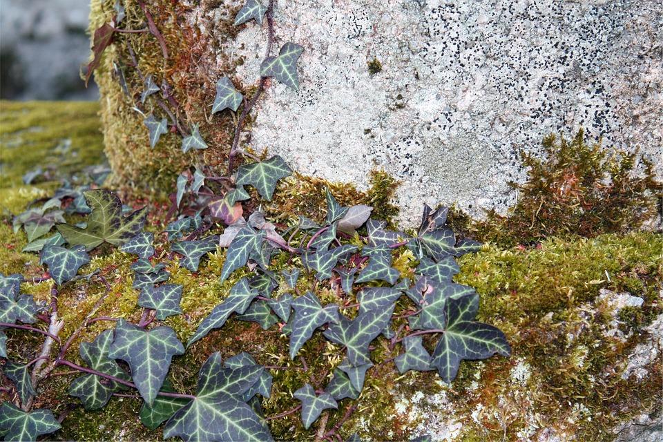 Ivy, Vine, Plant, Leaf, Green, Foliage, Moss, Growth