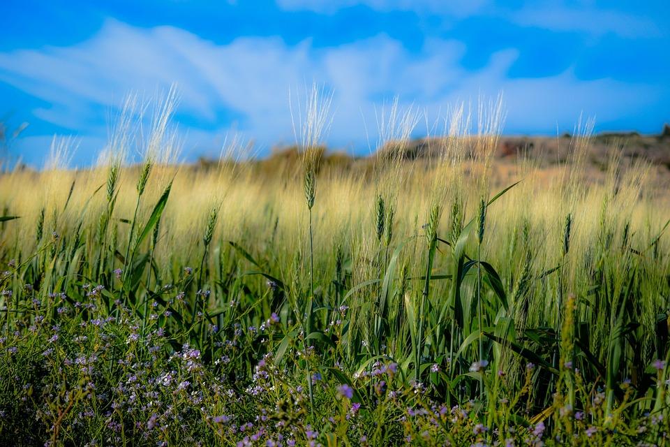 Spring, Field, Wheat, Rural, Growth, Farm, Straw