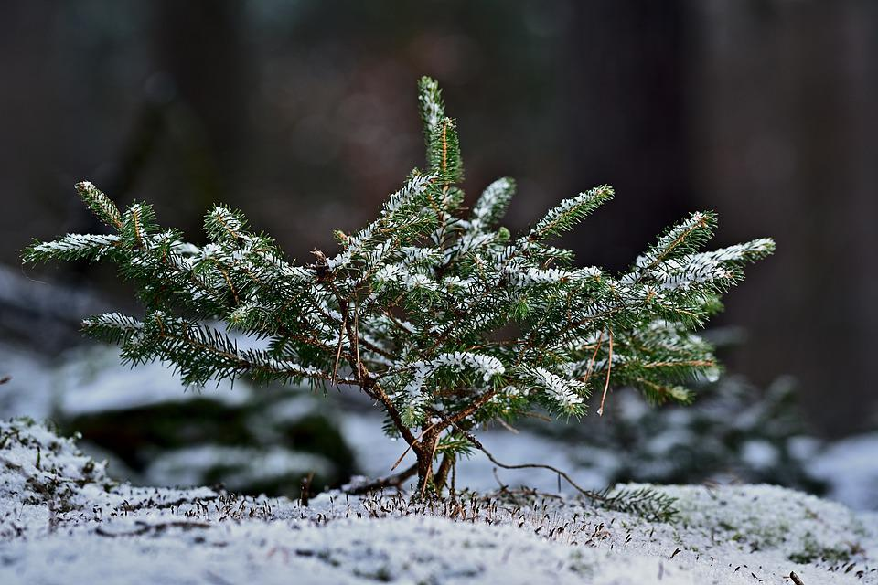 Conifer, Small, Winter, Snow, Close Up, Growth