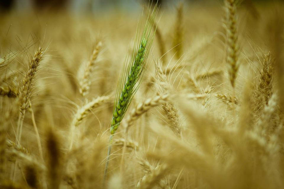 Wheat, Cereal, Straw, Nature, Growth, Food, Agriculture