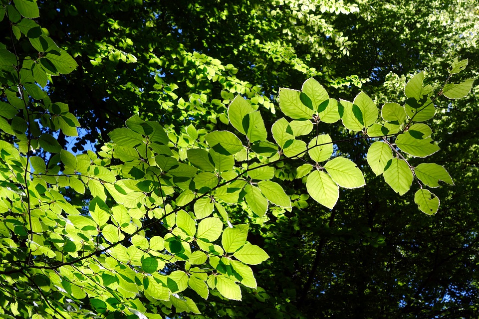Beech, Leaf, Plant, Nature, Growth, Tree, Bright