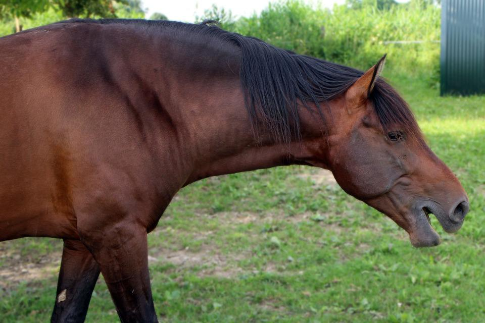 Neigh, Horse, Grumble, Snort, Language, Mane, Ears