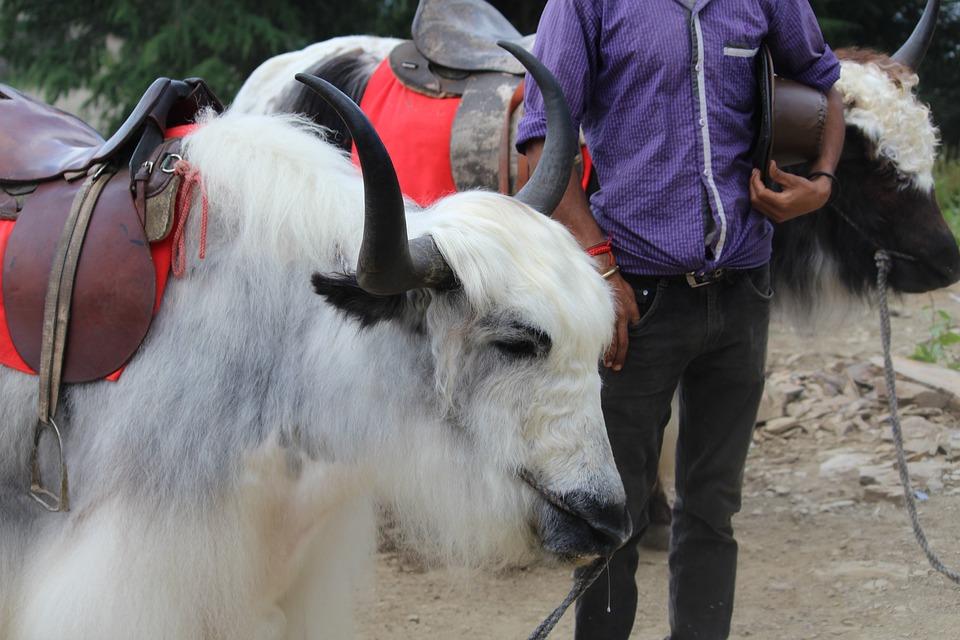 Yak, Himalayan, Grunting-ox, Animal