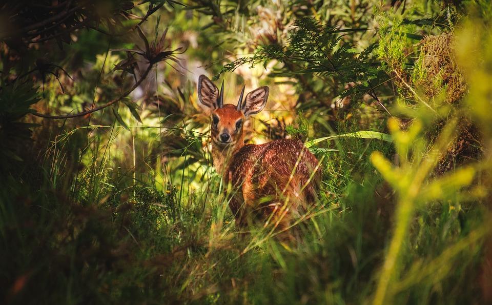 Grysbok, Deer, Antelope, Wildlife, Nature, Animal