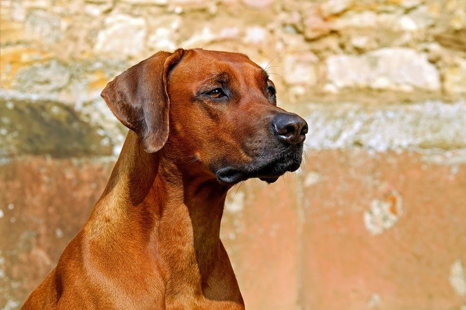 Rhodesian Ridgeback, Dog, Guard Dog, Purebred Dog