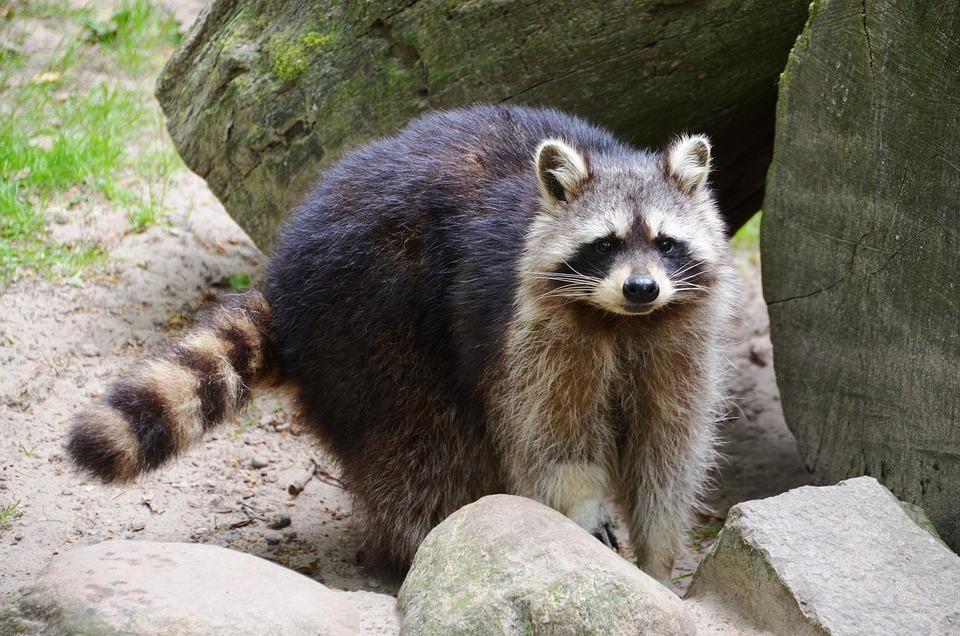 Raccoon, Güstrow, Eco-park