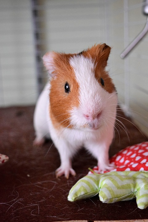 Guinea Pig, Pig, Fuzzy, Guinea, Animal, Pet, Cute