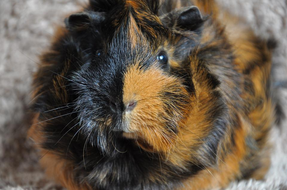 Guinea Pig, Rodent, Animal, Rosette, Brindle
