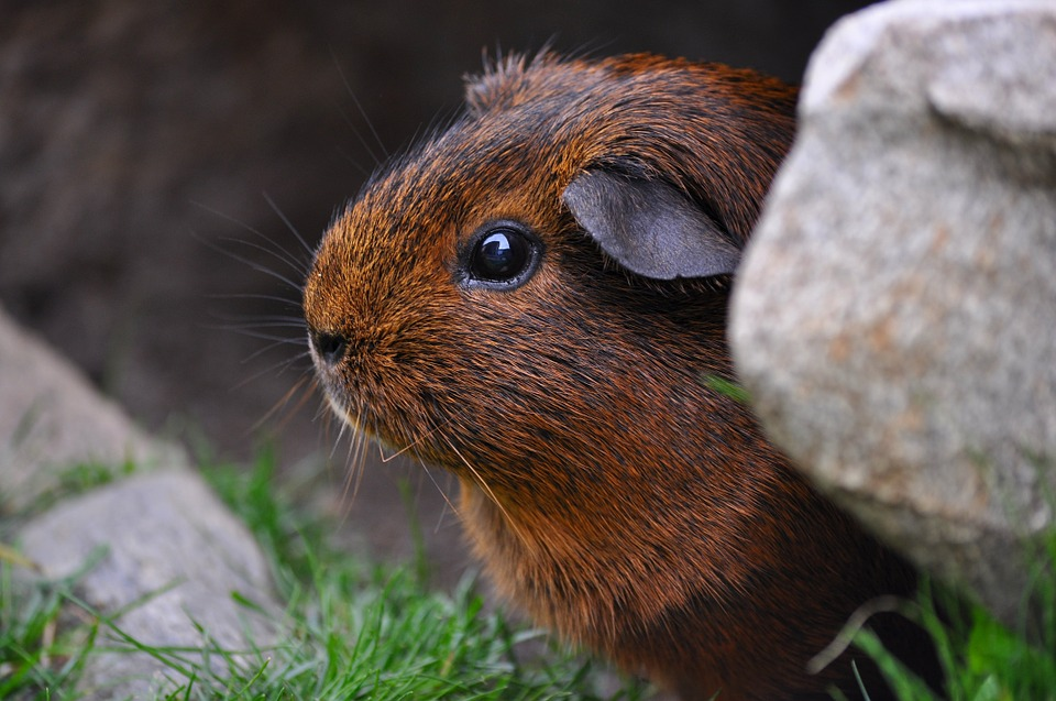 Guinea Pig, Rodent, Cute, Eyes, Fur, Smooth Hair