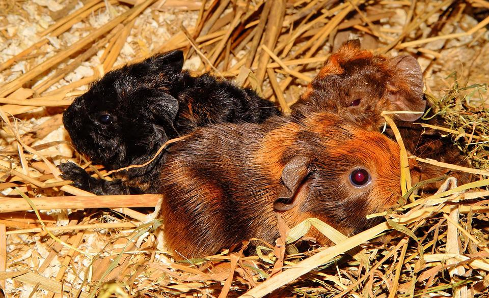 Guinea Pig, Young Animals, Half A Day Old, Nager