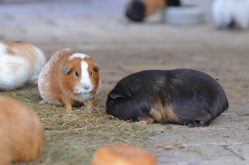 Guinea Pig, Zoo, Sweet, External Attitude, Eat, Small