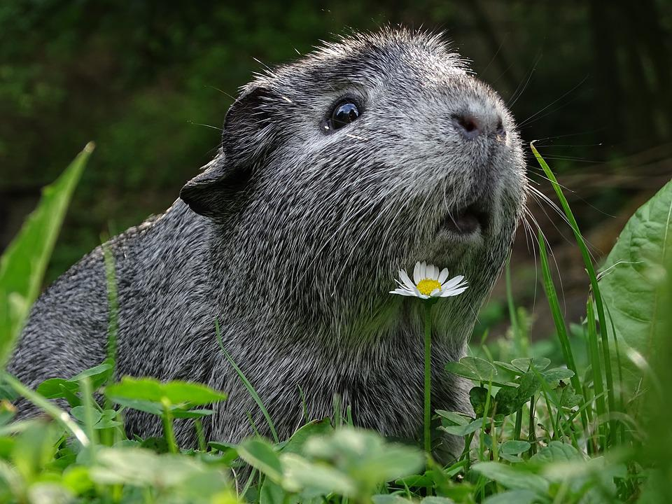 Guinea-pig, Cute, Hairy, Guinea Pigs, Agouti, Animal