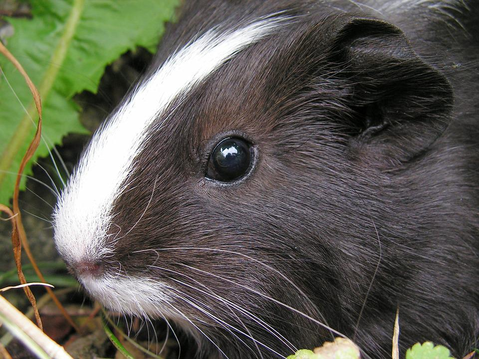 Guinea-pig, Black, Female, Head, Eye, Baldness