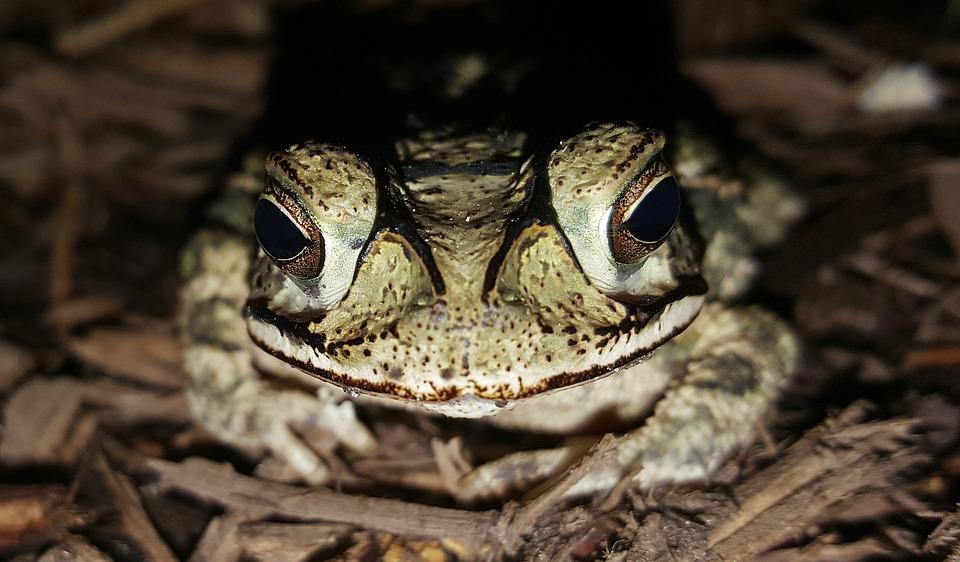 Toad, Gulf Coast Toad, Amphibian, Creature, Croak