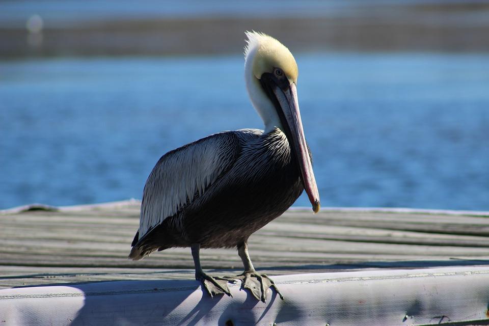 Pelican, St, Augustine, Florida, Sea, Ocean, Gulf