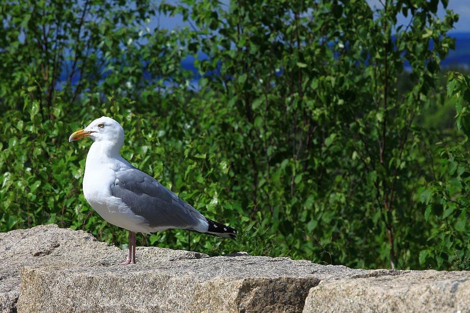 Seagull, Bird, Gull, Perched, Avian, Fauna, Avifauna