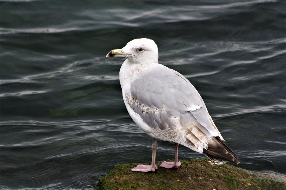 Gull, Bird, Baltic Sea, Animals, White, Plumage