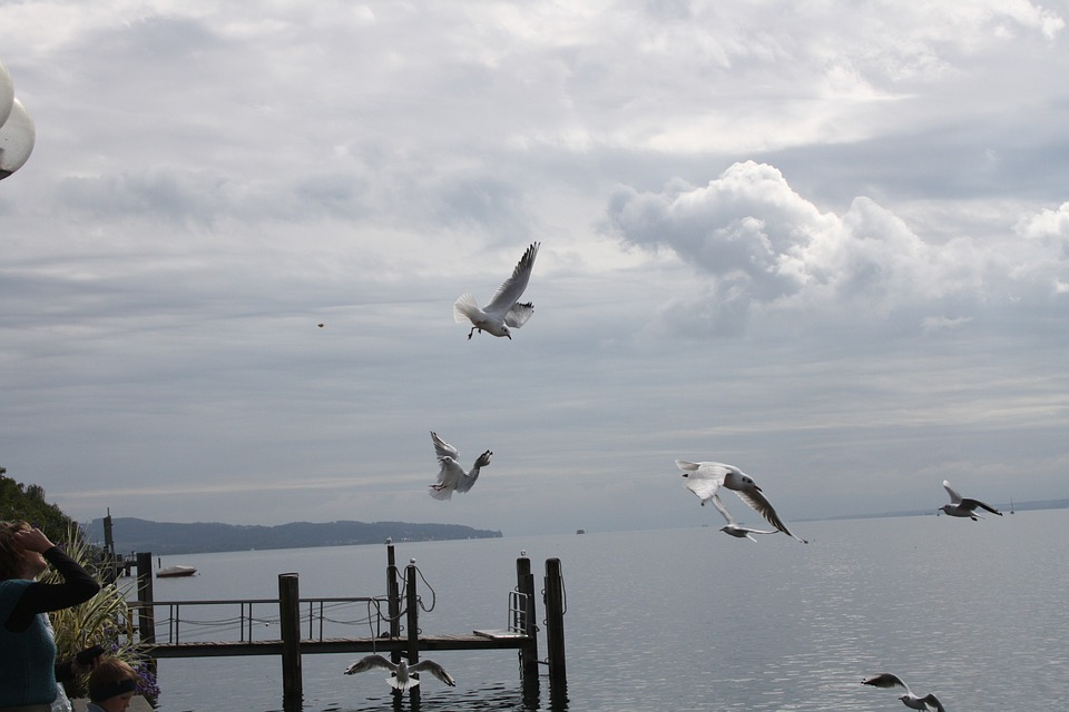 Gulls, Gull, Bird, Waterfowl, Lake Constance, Landscape