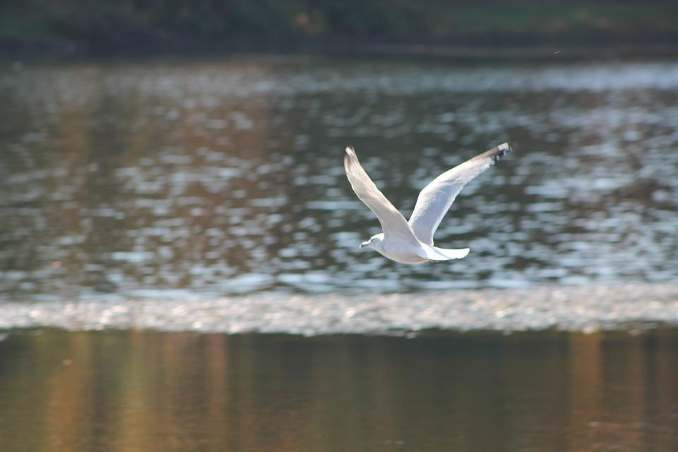 Gull, Lake, Nature, Landscape, Flight, Bird, Seagull