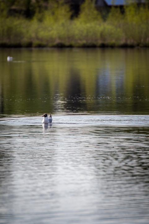 River, Bird, Seagull, Gull, Animal, Water Bird