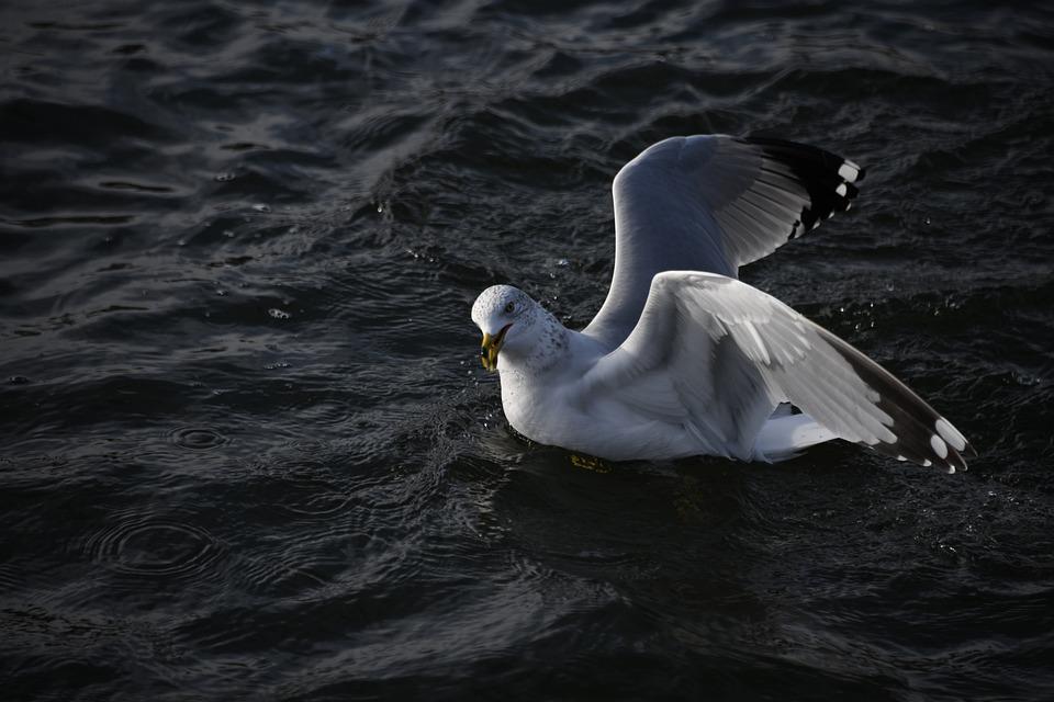 Seagull, Bird, Flying, Water, Seabirds, Gull, Float