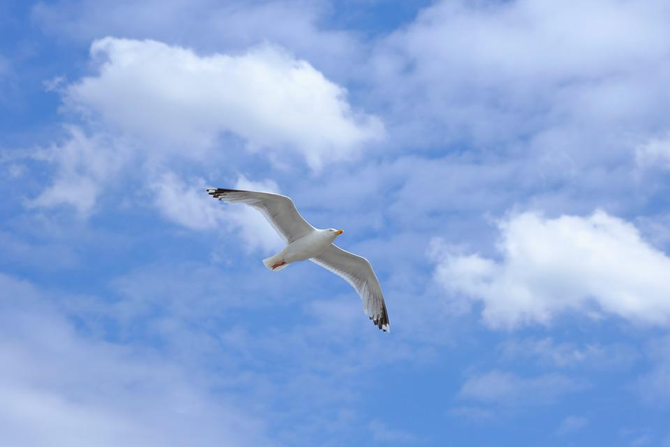 Gull, Bird, Flying, Wing, Nature, Sky, Water, Freedom