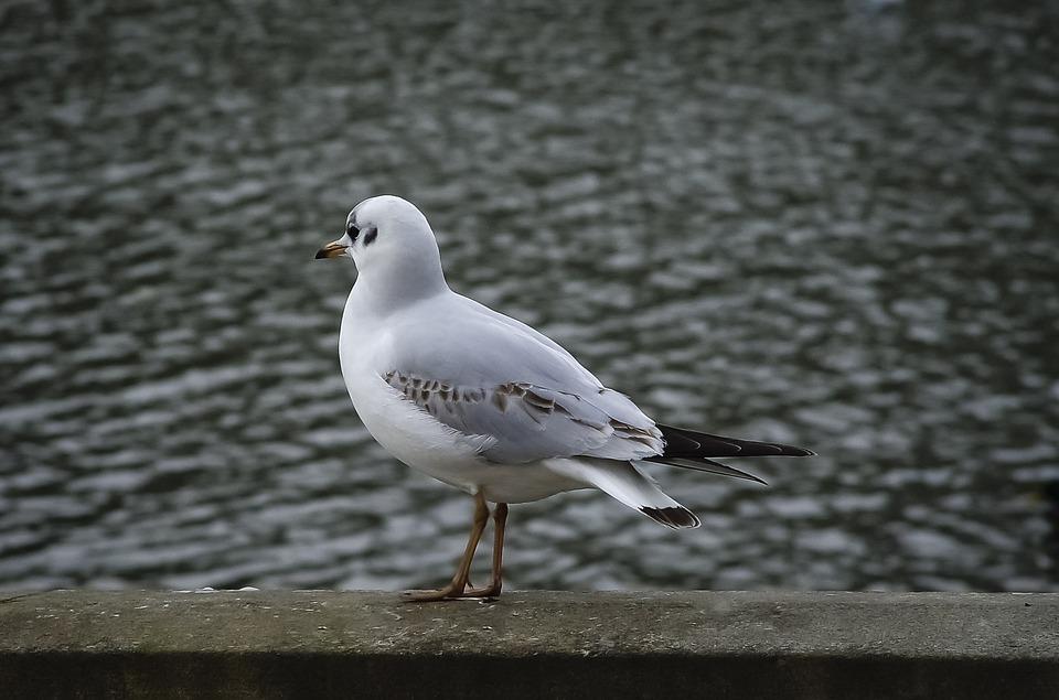 Bird, Gull, Ornithology, Nature, Water