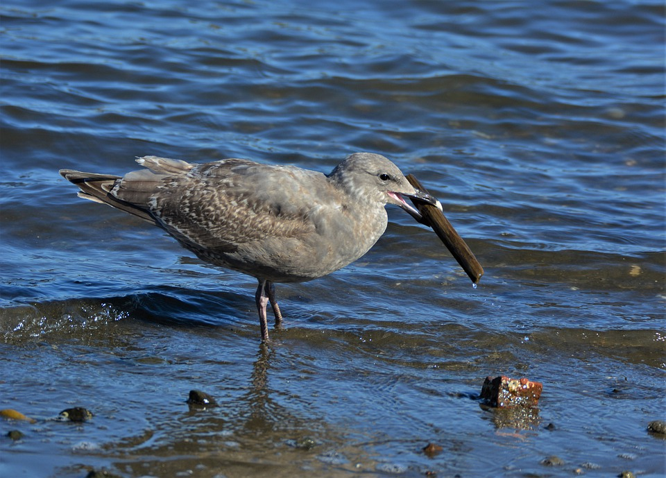 Seagull, Bird, Sea, Wings, Animal, Nature, Gull, Water