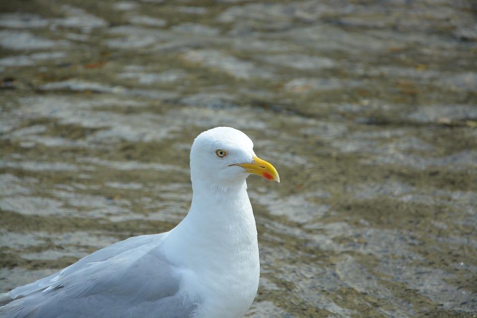 Gull, Profile, Head, Beach, Seagull, Seabird