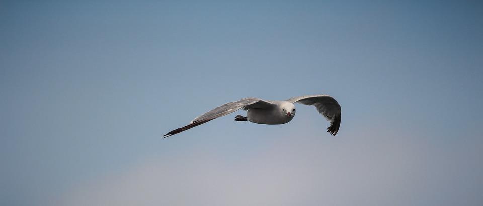 Sea, Birds, Gull, Fly, Seagull, Water Bird, Animal