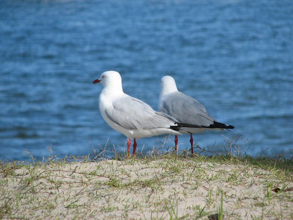 Seagull, Bird, Water, Gull, Animal, Wildlife, Beach
