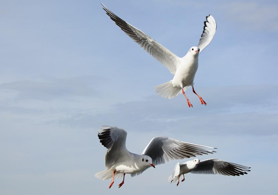Gulls, Bird, Fly, Freedom, Sky, Lake, Feather, Wing