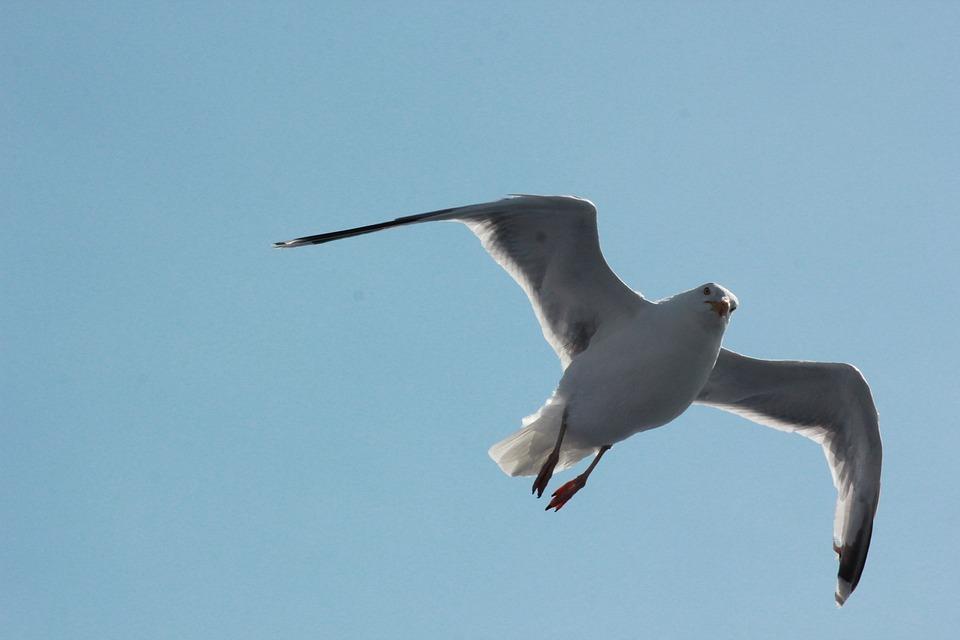 Seagull, Sea, Water, Bird, Gulls, Animal, Wind