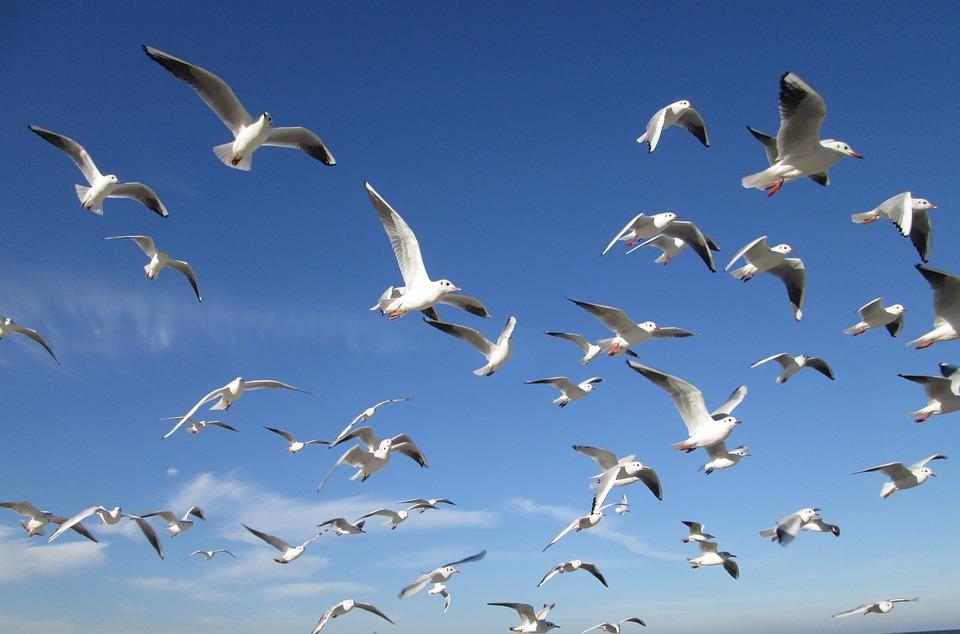 Birds, Sky, Gulls, Swarm