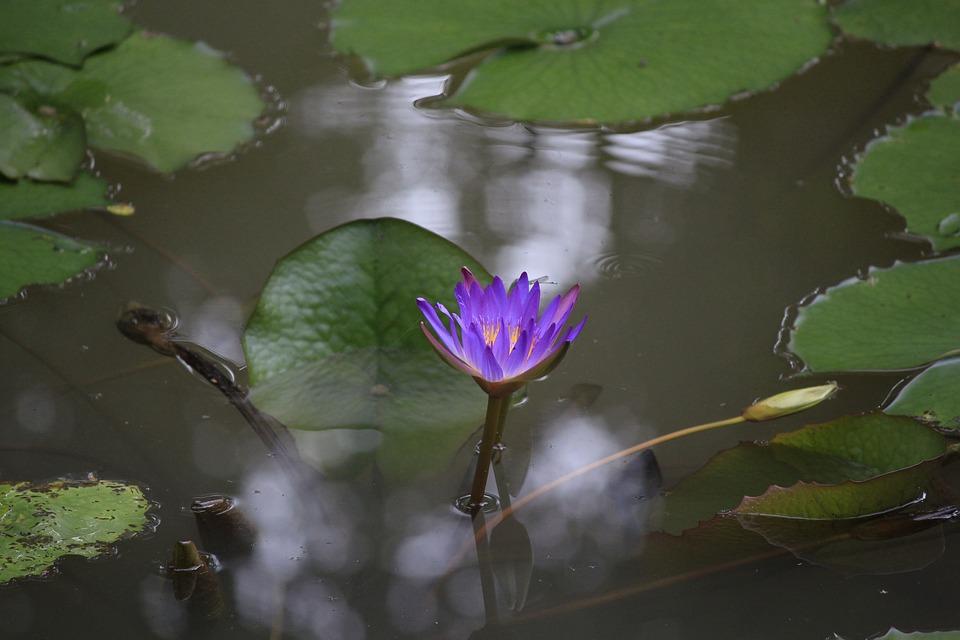 Vietnam, Watering The Plants, Flower, Lily, Gun Cotton