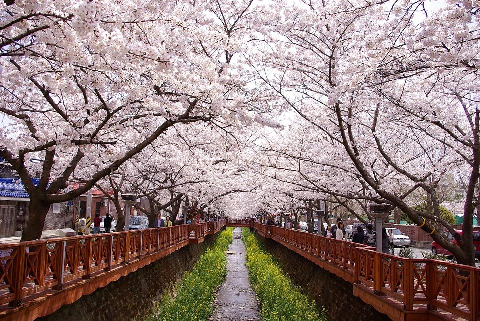 Cherry Blossom, Gunhangje, Jinhae, Canal, City, Spring