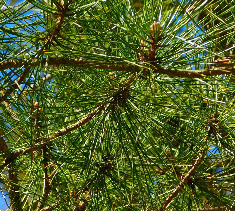 Gymnosperm Plant, Needles, Branches, Branch, Conifers