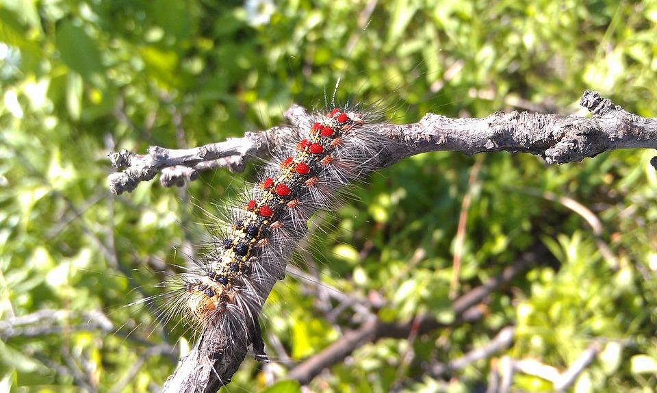 Caterpillar, Gypsy Moth, Lymantria Dispar, Branch
