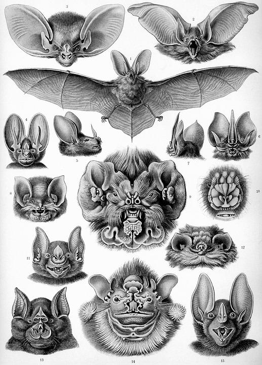 Bat, Bats, Haeckel Chiroptera, Mammals, Microchiroptera