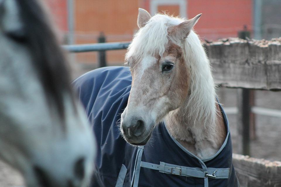 Horse, Senior, Pensioners, Animal, Fur, Age, Haflinger