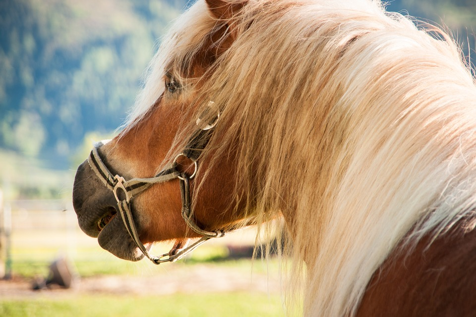 Horse, Pony, Haflinger, Animal, Brown, Coupling, Mare