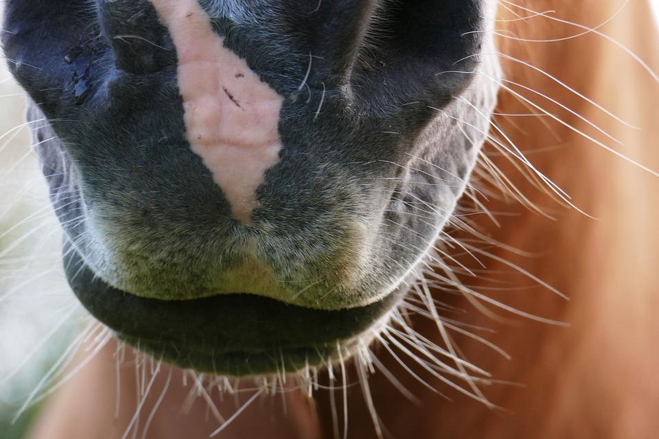 Horse, Haflinger, Animal, Meadow, Pony, Close Up